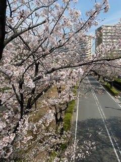 פריחת הדובדבן ביפן | אושן רילוקיישן